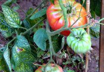 Неравномерно созревающие помидоры
