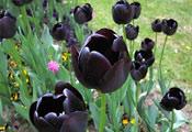 Чёрный тюльпан