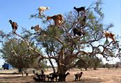 Козы на аргании в Марокко