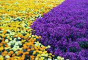 Фиолетовоцветковые сальвии с бархатцами