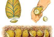 Деление клубня картофеля