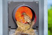 Птенцы дерябы на светофоре