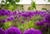 Лук голландский Purple Sensation