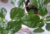 Листья комнатного перца