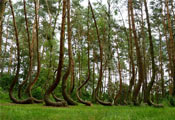 Кривой лес (Crooked Forest)