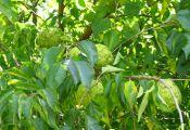 Маклюра оранжевая или маклюра яблоконосная