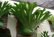 Платицериум большой (Platycerium grande)