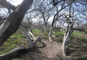 Яблоня-колония