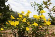 Ослинник кустарниковый, или Энотера кустарниковая