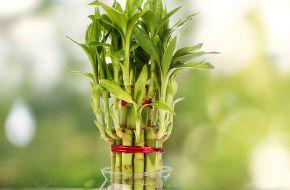Драцена Сандера, или бамбук счастья