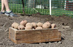 Высадка подготовленных клубней картофеля