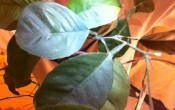 Помогите определить 2 цитрусовых растения