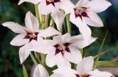 Гладиолус Мюриэл (Gladiolus murielaу), синоним Ацидантера двухцветная (Acidanthera bicolor)