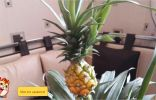 Помогите определить съедобный или нет ананас