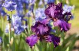Ирис бородатый Джипси ромэнс (Iris Gypsy Romance)