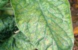 Листья томатов становятся светле и лист высыхает