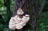 Гриб на дереве