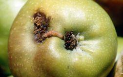 Внешний вид пораженного плодожоркой яблока