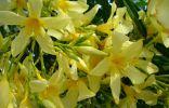 Желтые цветы Олеандра, сорт Maria Gambetta
