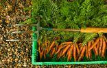 Урожай органически выращенной моркови.