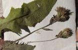 Помогите опознать 2 растения
