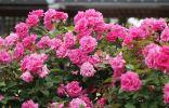 Куст бурбонской розы сорта Zepherine Drouhin