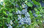 Голубика высокорослая, садовая