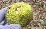 Помогите определить растение по плоду с цитрусовым запахом