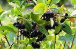 Арония черноплодная, или Черноплодная рябина