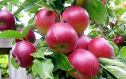 Яблоки на ветвях дерева