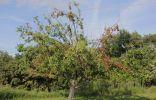 Суховершинность яблони