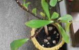 Растение начало сбрасывать листики и на обратной стороне коричневая полоска