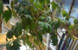 Помогите, пожалуйста, опознать растение