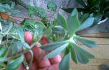 Помогите с названием растения