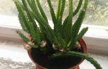 Подарили отросток кактуса