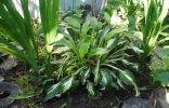 Из пестролистного куста хосты начинают расти обыкновенные зеленые листья