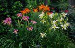 Цветник из разных сортов лилейника
