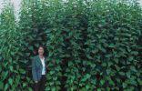 Многолетнее растение, высота 3-4 метра