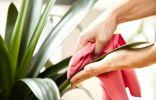 Очистка листьев комнатных растений