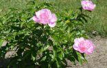 Пион молочноцветковый «Фэнси Нэнси»