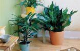 Комнатные растения для северных комнат