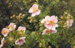 Опознать растение-кустарник