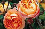Роза «Леди Эмма Гамильтон»