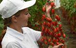 Серия томатов «Вкуснотека» от агрохолдинга ПОИСК
