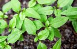 Выращивание никандры физалисовидной из семян