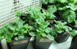 Выращивание рассады петунии из семян