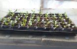 Выращивание георгин из семян