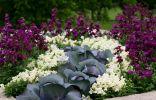Матиола в цветнике с капустой