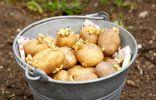 Подготовленные к посадке клубни картофеля