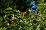 Калина – полезная ягода и украшение сада
